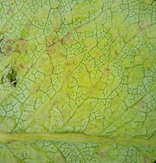 Pear leaf blister mite - Phytoptus