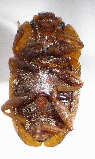 Nit - Epuraea rufa