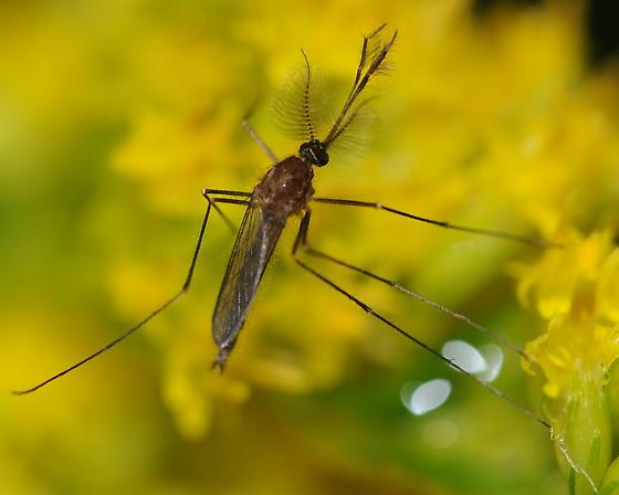Mosquito - Culex - male
