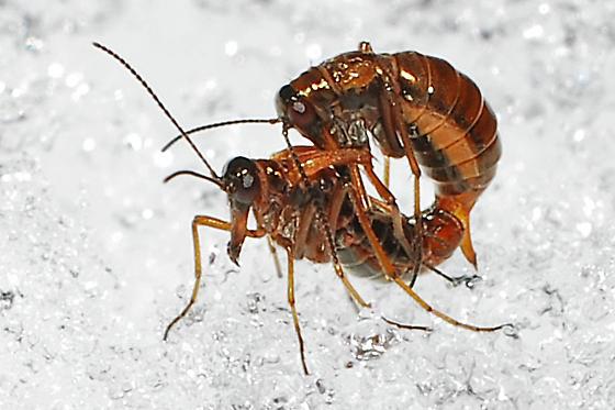 Snow Scorpionfly - Boreus nivoriundus - male - female