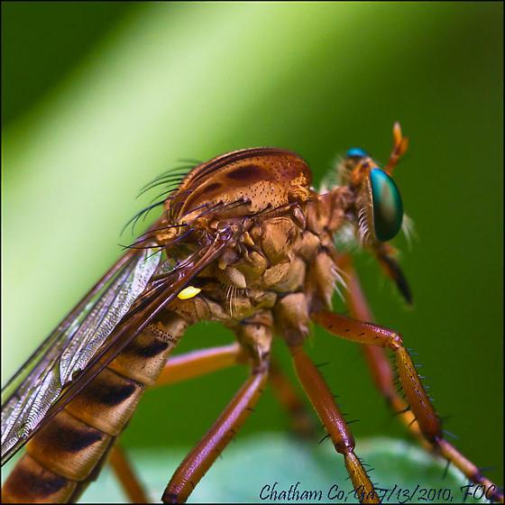 Robber-Fly  genus Diog...