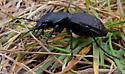 Greater Night-stalking Tiger Beetle - Omus dejeanii