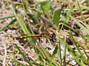 dragonfly - Erythrodiplax berenice - female
