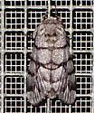 Moth - Panthea furcilla