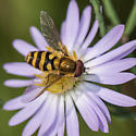Syrphid Fly - Syrphus