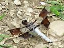 Dragonfly ID? - Plathemis lydia - male