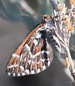 Moth - Stamnodes marmorata