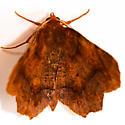 Metarranthis homuraria - Purplish Metarranthis - Hodges#6828 - Metarranthis homuraria - male
