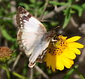 Please help us to identify this butterfly. - Heliopetes laviana