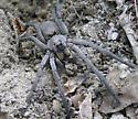 Wolf spider? - Hogna carolinensis