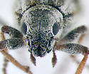 Entiminae - Broad-nosed Weevil, face - Sitona lineellus