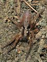 Gladicosa gulosa? - Hogna frondicola - female