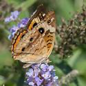 Butterfly1 - Junonia coenia