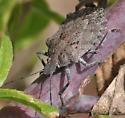 Brochymena sp. ? - Brochymena quadripustulata