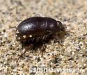 Coelus gracilis-San Joaquin Dune Beetle - Coelus gracilis