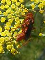 Tachypompilus unicolor wasp - Tachypompilus unicolor - female