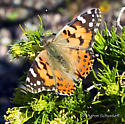 Desert Painted Lady - Vanessa cardui