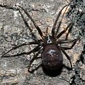 Unknown Spider - Steatoda grossa