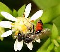 Bee ? - Sphecodes davisii - male