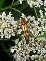 Flower Longhorn - Strangalia famelica