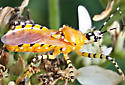 Assassin bug  - Pselliopus barberi