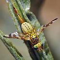 Tephritid Fruit Fly #4 - Chaetorellia succinea - female