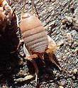 Tiny cricket nymph? - Myrmecophilus