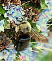 Carpenter Bee - Xylocopa tabaniformis - male