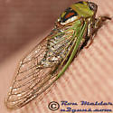 Cicada - Neotibicen pronotalis