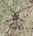 Longhorn Beetle sp? - Elytrimitatrix undata