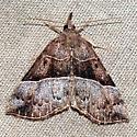 Deceptive Bomolocha Moth - Hypena deceptalis