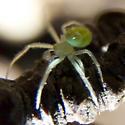 Tiny green orb weaver? - Araneus - male