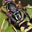 Deformed Wing Virus? - Polistes aurifer - male
