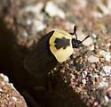 Yellow pronotum beetle - Necrophila americana