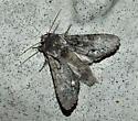 Unknown moth - Psaphida electilis