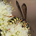 Wasp - Cerceris sextoides - female