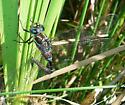 Dragonfly blue stripes - Aeshna tuberculifera