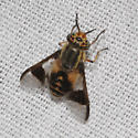 Chrysops? - Chrysops callidus - female