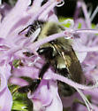 Nighttime bumble bee - Bombus impatiens