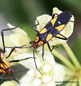 Milkweed bug - Oncopeltus sexmaculatus