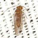 Fateful Barklouse - Lachesilla major