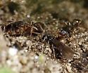 Anergates atratulus - female