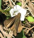 Unknown skipper - Lerema accius