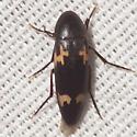 False Darkling Beetle - Dircaea liturata