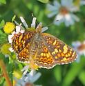 Field Crescent? - Phyciodes pulchella - female