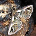 Paectes oculatrix #8957? - Paectes oculatrix - male