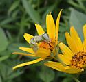Mystery caterpillar - Melanchra adjuncta