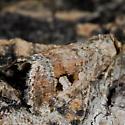 Unknown Moth - Elaphria alapallida
