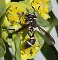 Sphiximorpha? - Polybiomyia sayi - male