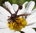 Wasp-mimic fly - Physocephala burgessi
